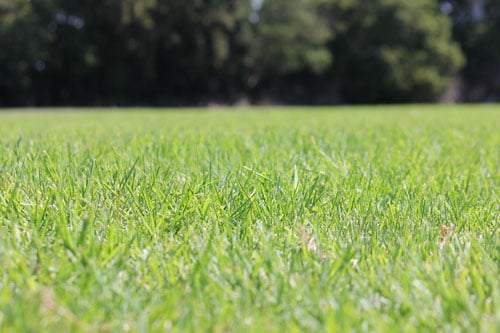 Kikuyu Grass – 3 Mistakes to Avoid