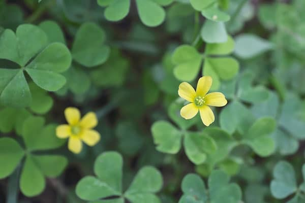 Lawn Weeds – Creeping Oxalis